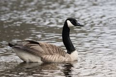 Male Canadian goose swimming in a lake. Closeup of a male Canadian goose swimming in a lake with glittering water Royalty Free Stock Photo