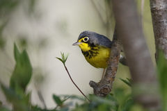 Male Canda Warbler Perched in a Tree Stock Photo