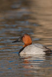 Male Canvasback Stock Photo