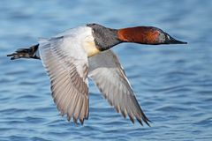 A Male Canvasback in Flight royalty free stock photos