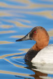 Male Canvasback Portrait Royalty Free Stock Photography