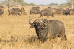 A Male Cape Buffalo with herd, South Africa. Male Cape Buffalo, (Syncerus caffer) with herd, Kruger Park, South Africa royalty free stock image
