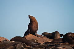 The male Cape fur seal at a rookery. Male pinnipeds on land. South Africa Stock Images