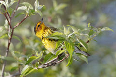Male Cape May Warbler. Foraging for insects during spring migration - Ohio Stock Images