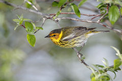 Male Cape May Warbler. Perched on a tree branch - Ohio Stock Image