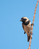 Male Cape Sparrow on branch. Male Cape Sparrow holding onto a bare branch with blue sky as background Stock Images