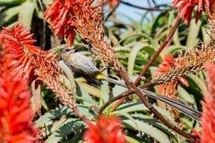 Cape Sugarbird Royalty Free Stock Photo