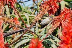 Cape Sugarbird Stock Photos