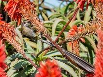 Cape Sugarbird Stock Photo