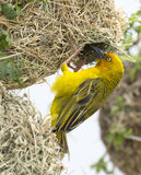 Male Cape Weaver Bird at Nest. Male Cape Weaver bird at the entrance to it`s nest Stock Photos