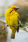 Male Cape Weaver Bird. Proud male Cape Weaver bird sitting in a thorn tree Stock Images