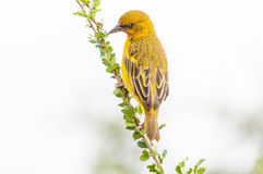 Male Cape weaver. A male Cape weaver, Ploceus capensis, on a branch Royalty Free Stock Image