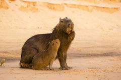 Male Capybara with Deformed Mouth, and Baby Royalty Free Stock Images