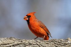 Male Cardinal Stock Photos
