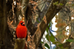 Bright Red Male Cardinal Bird. Male cardinal bird perched on a tree trunk Stock Photography