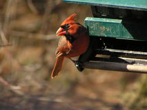 Male Cardinal 2 Royalty Free Stock Images
