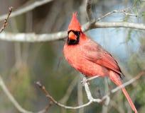 Male Cardinal Royalty Free Stock Photo