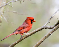 Male Cardinal Royalty Free Stock Photography