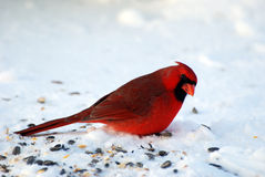 Male Cardinal Stock Images