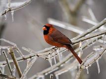Male Cardinal Stock Photos