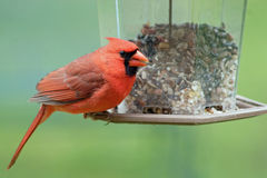 Male Cardinal. A bright red male cardinal at the feeder Royalty Free Stock Photos