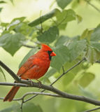Male Cardinal. Male northern cardinal perched on a tree branch Royalty Free Stock Photos