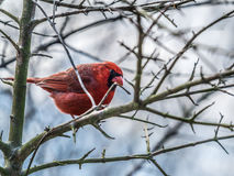 Male Cardinal among Bare Tree Branches Royalty Free Stock Photos