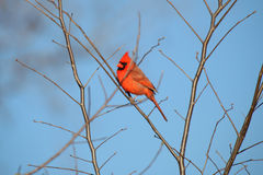 Male cardinal bird. On the branch of a tree stock photo