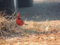 Male Cardinal Bird. Eating sunflower seeds on the ground Stock Photos