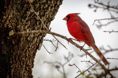 Male Cardinal Bird on a Limb. Beautiful red male Cardinal bird resting on a limb royalty free stock images