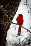 Male Cardinal Bird on a Limb. Beautiful red male Cardinal bird resting on a limb Stock Image