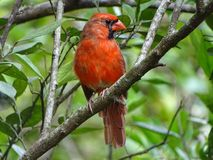Male Cardinal Bird. Red cardinal bird perched in a tree Stock Photo