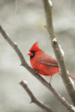 Male Cardinal bird in tree Royalty Free Stock Photography