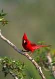 Male Cardinal on Branch Stock Photography