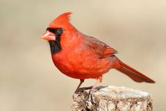 Male Cardinal On A Branch Royalty Free Stock Image