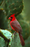 Male Cardinal on Cactus Stock Photos