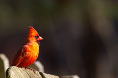 Male Cardinal Cardinalidae. Perched on fence, bird Stock Photo