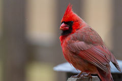 Male Cardinal Cardinalidae. Perched on fencepost, bird Royalty Free Stock Photography