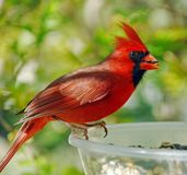 Male Cardinal (Cardinalis cardinalis) Stock Photos