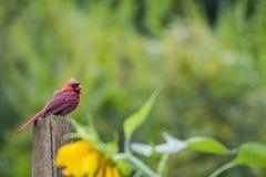 Cardinal watches over sunflower garden. Male Cardinal Cardinalis cardinalis molts feathers in late summer perched over a sunflower garden stock images