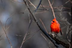 A Male Cardinal stock image