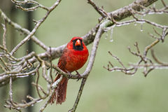 Male Cardinal on a cold snowy day. Stock Image