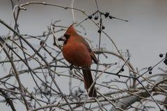 Male cardinal du nord Image libre de droits