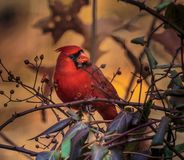 Stunning Male Cardinal. Male Cardinal eating berries on the vine. The Cardinal is from the bird class Aves and family name Cardinalidae. The cardinal has vibrant stock photography