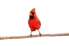 Male cardinal eating a seed. Face front view of male cardinal perched on a branch, white background stock photography