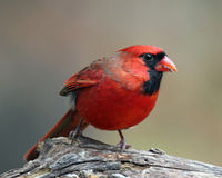 Male Cardinal Eating Seeds. A male Northern Cardinal (Cardinalis cardinalis) perching on a branch, eating seeds royalty free stock photography
