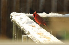 Red Cardinal eating seeds in the snow. Red Male Cardinal eating seeds on in the snow on a sunny February day stock images