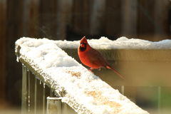 Red Cardinal. Red Male Cardinal eating seeds on in the snow on a sunny February day stock photo