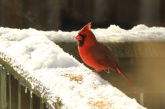 Male Cardinal eating seeds in the snow Royalty Free Stock Image