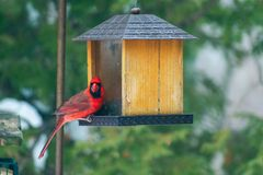 Male cardinal at feeder in winter stock photos